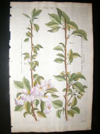 Langley 1729 Folio Hand Col Botanical Print. Apple Trees, Fruit 7